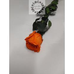 Rose éternelle orange tige