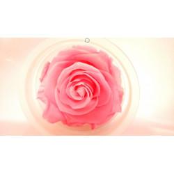 Bouton de rose éternelle...
