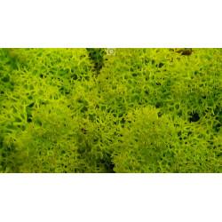 Lichen stabilisée vert anis